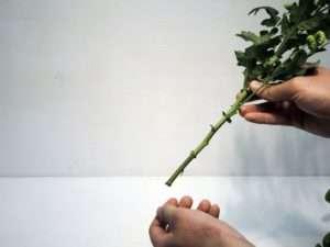 5. Entfernen Sie gegebenenfalls alle im unteren Viertel der Blumen hängenden Blätter