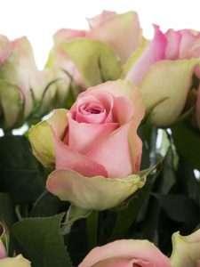 Rosen Belle Rose rosa