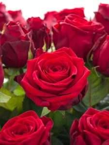 Rosen Red Naomi rot