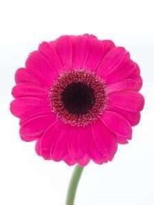 Gerbera mini Caprice pink