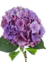 Hortensie Magical Rodeo Paars lila gruen 1