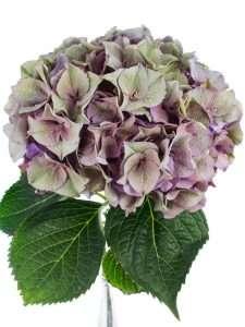 Hortensie Magical Rodeo Paars lila gruen grau