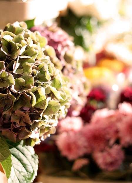 Hortensie rosa Wochenmarkt Blumen Horstmann