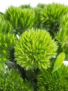 Bartnelken Green Trick gruen