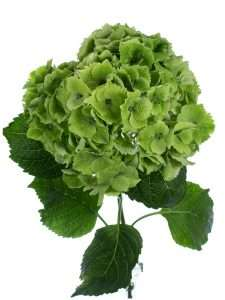 Hortensie Emerald Classic gruen