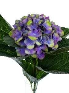 Hortensie Magical Amethyst lila-grün