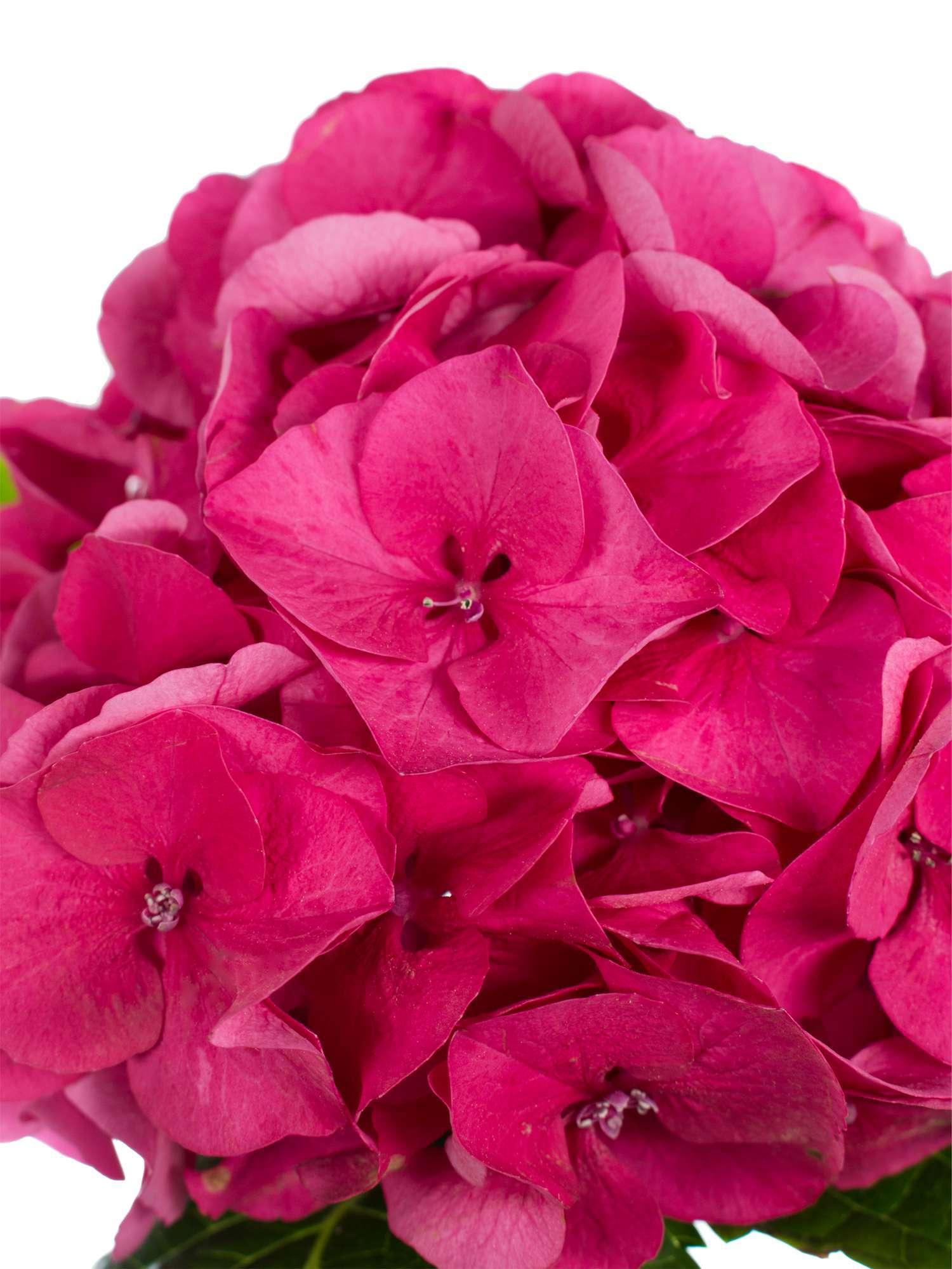 hortensie magical sibilla rot pink bestellen blumigo