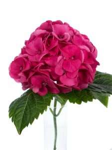 Hortensie Magical Sibilla rot pink