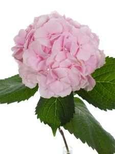 Hortensien Verena rosa