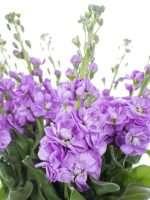 Levkojen Figaro Lavender lila