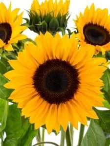 Sonnenblume Sunrich Orange