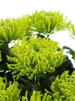 Chrysanthemen Anastasia Green