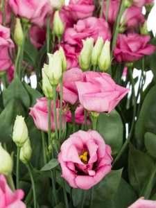 Lisianthus Rosita rose alt rose 3-2