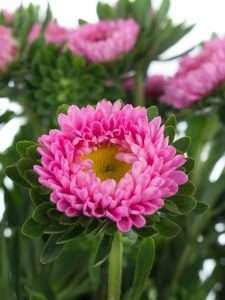 Sommerastern pink