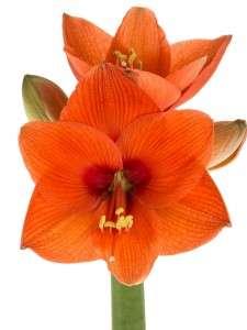 Amaryllis Naranja 5