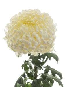 Chrysantheme Shoesmith
