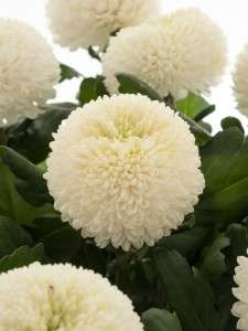 Chrysanthemen Boris Becker