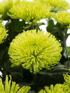 Chrysanthemen Green Globe