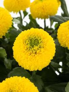 Chrysanthemen Yellow Ping Pong