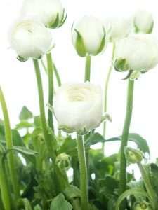 Ranunkeln Elegance white
