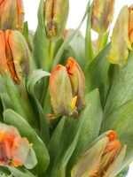 Tulpen Papagei Irene Parrot