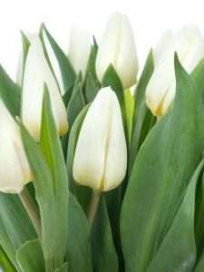 Tulpen White Prince
