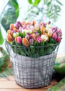 Tulpen bunt gemischt in Korb_