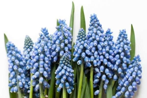 Traubenhyazinten blau