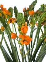 Ornithogalum Sunshine Gaertnerschreck orange