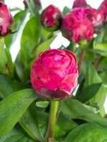 Pfingstrosen Red Sarah Bernhardt pink
