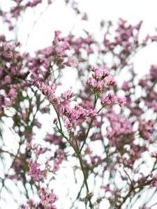 Statize lilac