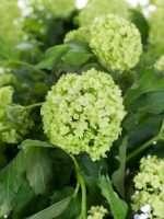 Vibournum Roseum Schneeball