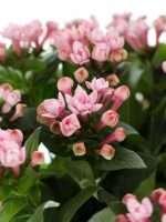 Bouvardien Diamond Dark Pink pink