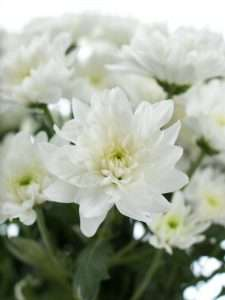Chrysanthemen Baltica weiss