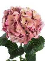 Hortensie Magical Sibilla Classic alt rosa