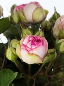 Rosen Charming Piano creme rosa