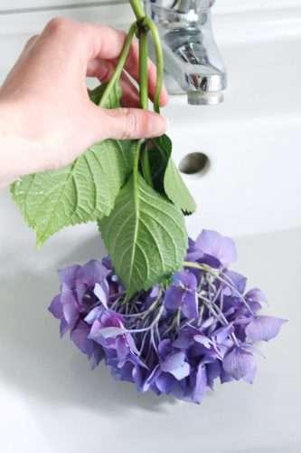 Schlappe Hortensien in Wasser tauchen