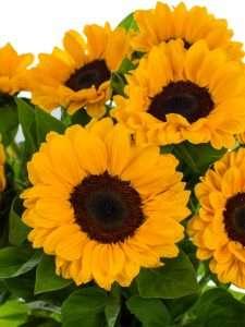 Sonnenblumen Vincents Choice gelb