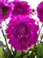 Dahlien Cartouche lila
