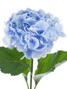 Hortensie Verena blau hellblau