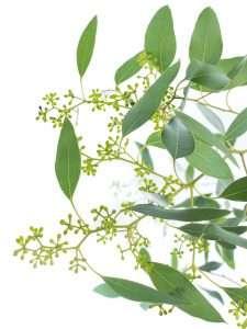 Eukalyptus Populus mit Beeren kurz