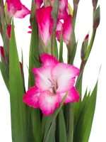 Gladiolen T512 pink weiss