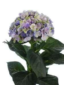 Hortensie Magical Coral blau lila gruen 1