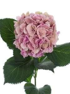 Hortensie Magical Elbtal Classic pink grün