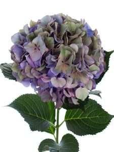 Hortensie Magical Glowing Alps Classic blau  lila gruen