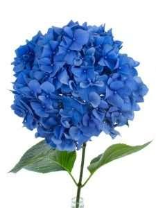 Hortensien Pimpernel blau 3