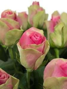 Rosen Bellevue pink gruen