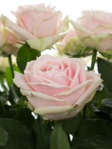 Rosen Sweet Avalanche rosa