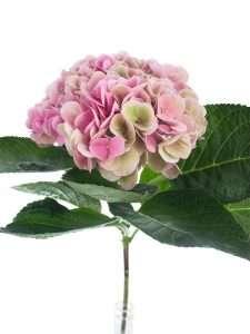 Hortensie Magical Opal Classic pink rosa gruen 2