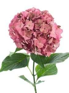 Hortensie Magical Rodeo Classic rot - alt rose 3
